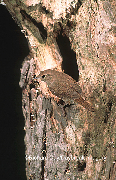 01324-008.18 House Wren (Troglodytes aedon) with food at nest cavity Marion Co.   IL