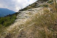 Echtes Federgras, Feder-Pfriemengras, Mädchenhaargras, Grauscheidiges Federgras, Stipa pennata, Feather Grass
