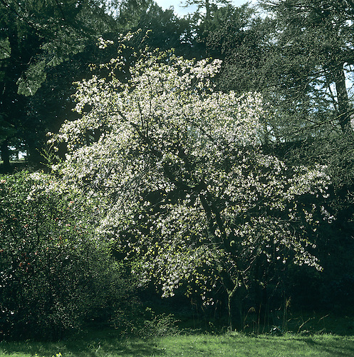 Wild Cherry Prunus avium Rosaceae Height to 30m <br /> Deciduous tree with domed crown. Bark Reddish-brown, shiny, with circular lines; peels horizontally into papery strips. Branches Spreading with reddish twigs. Leaves To 15cm long, ovate, toothed. Reproductive parts Flowers white, 5-petalled, in clusters of 2&ndash;6. Fruits to 2cm long, rounded, ripening dark-purple, sometimes yellowish. Status Widespread native.