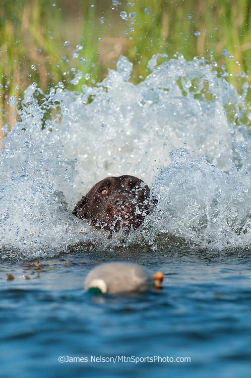 """A chocolate Labrador retriever retrieves a """"training dummy"""" from a pond."""