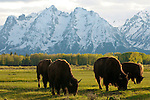 A herd of Bison graze on springtime grasses in Grand Teton National Park, Jackson Hole, Wyoming.