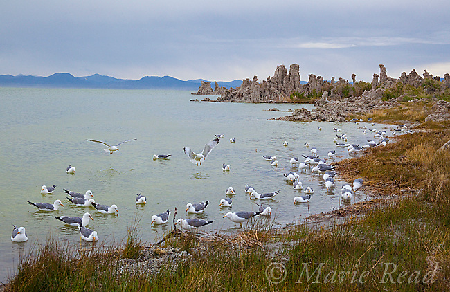 California Gulls (Larus californicus) gather at the shoreline of Mono Lake after a storm to feed on wind-driven prey (insects (alkali flies) or brine shrimp), California, USA