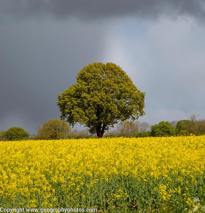 Dark rain clouds passing sunlit field of yellow oil seed rape with one oak tree standing, Suffolk, England, UK