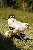 BELIZE, Punta Gorda, Toledo District, a chicken and her chicks run free in the Maya village of San Jose
