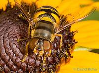 0310-1202  Transverse Flower Fly (Hover Fly), Pollinating Flower,  Eristalis transversa  © David Kuhn/Dwight Kuhn Photography