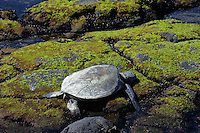 Green sea turtle (Honu), Honokohau Bay<br />