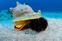 horned helmet shell or pu puhi, Cassis cornuta, attacks a collector urchin or hawa e maoli, Tripneustes gratilla, trapping it under the lip of its shell, Honokohau, Kona, the Big Island, Hawaii, USA (Central Pacific Ocean) 4th in sequence of 4