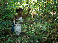 Tribal Aeta women from this specific part of the Philippines collecting Takipan, a forest vegetable that can be eaten raw or used in a soup. Takipan is found in the Jungle area of Pampanga, the Aetas are also famous for their survival skills and have trained the US Armed forces in the past, Pampanga, Philippines