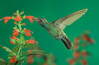 Broad-billed Hummingbird, Cynanthus latirostris, male in flight feeding on sage, Madera Canyon, Arizona, USA, May 2005