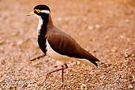 Image Ref: CA567<br /> Location: Desert Park, Alice Springs<br /> Date of Shot: 17.09.18