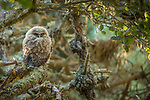 USA, California, Pt. Reyes National Seashore, northern spotted owl (Strix occidentalis caurina)