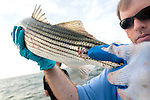 DNR biologist Mark Matsche holds a rockfish with skin lesions, evidence of mycobacteriosis, a bacterial disease.