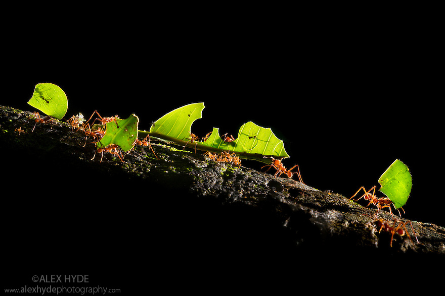 Leaf-cutter Ants {Atta cephalotes} carrying pieces of leaf that they have harvested back to their undeground fungus garden in their nest. The ant conlony feeds off this fungus. Osa Peninsula, Costa Rica. May.