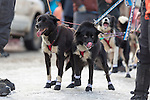 Two lead sled dogs prepare to race at the ceremenial start of the 43rd Annual Iditarod in Anchorage, Alaska. The 1000 mile dog sled race usually restarts in Willow, Alaska, and finishes in Nome. Poor snowfall, however, forced the restart north to Fairbanks.