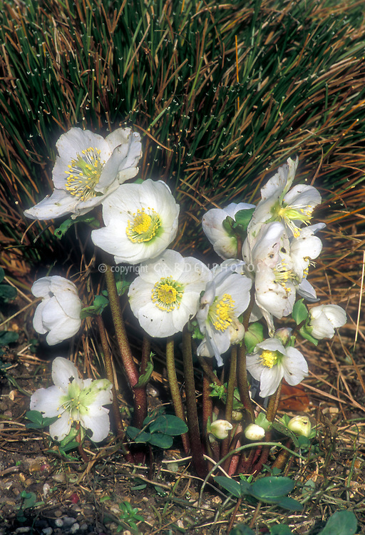 Helleborus White Magic in bloom with many flowers in winter