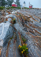 Lincoln County, ME: Goldenrod blooms in the granite rock formations beneath Pemaquid Point Lighthouse (established in1835)