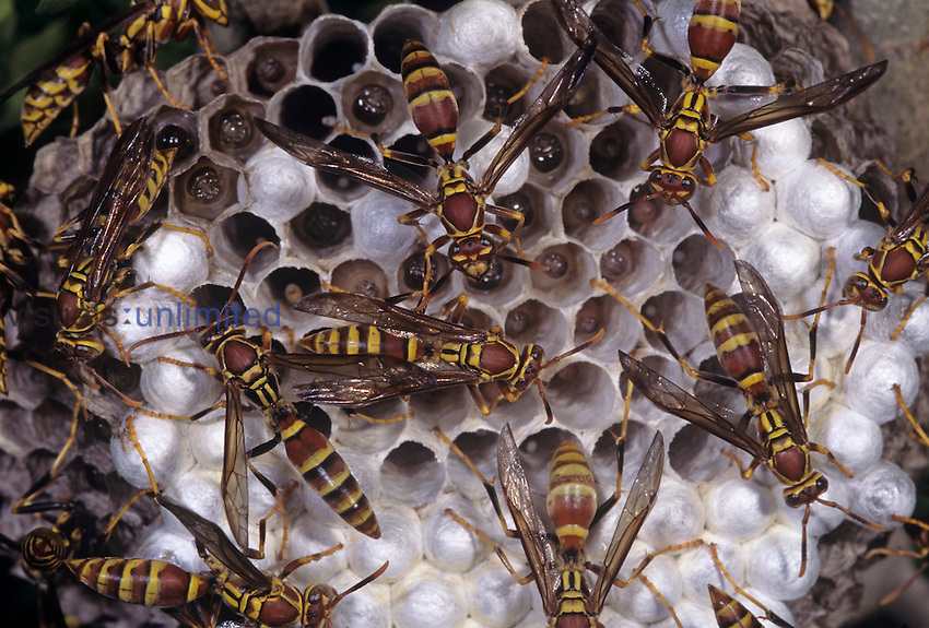 Paper Wasps (Polistes sp.) in their nest, Texas, USA.