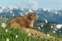 Olympic Marmot (Marmota olympus) surrounded by bistort wildflowers in alpine meadow , Olympic National Park, WA.  Summer.