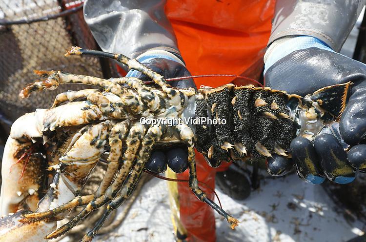 Foto: VidiPhoto<br /> <br /> YERSEKE - Het seizoen voor de kreeftenvisserij is in volle gang en duurt van half maart tot half juli. De zwagers Maurice Boone en Markus Wijkhuis uit Yerseke runnen samen een vissersbedrijf met twee kotters en een werkvlet. Naast het kweken van oesters, vissen ze op kreeften en paling. Volgens de vissers zijn er teveel vergunninghouders, waardoor de visserijdruk op de Oosterschelde is toegenomen en de vangsten tegenvallen. Ondanks dat de horeca gesloten is, staan de prijzen voor de gewilde Oosterschelde kreeft niet onder druk. Foto: Een kreeft vol met eitjes moet weer terug het water in.