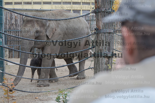 Man watches the three days old captive born baby elephant (back) when is introduced to members of the media the first time after its mother Angele (front) gave birth on 8th November in the City Zoo in Budapest, Hungary on Nov. 10, 2017. ATTILA VOLGYI