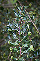 Ilex aquifolium 'Crispa', early November. An unusual holly with distorted leaves.