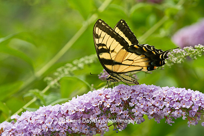03023-02617 Eastern Tiger Swallowtail butterfly (Papilio glaucus) on Butterfly Bush (Buddleia davidii) Marion Co., IL