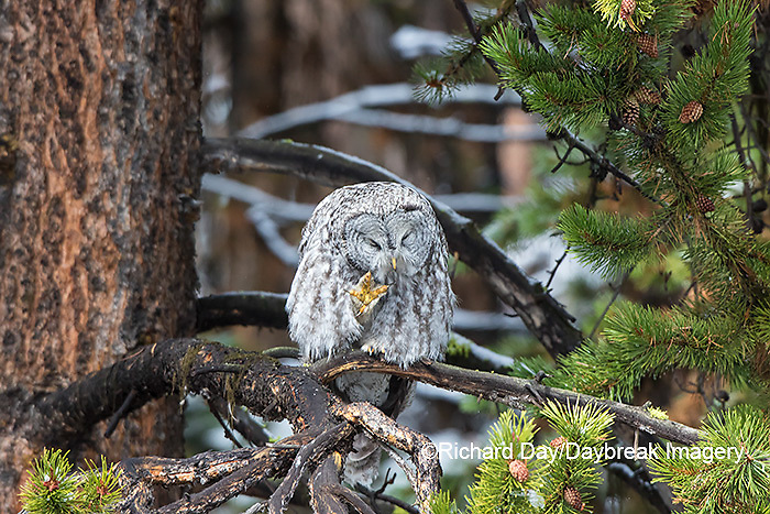 01128-00212 Great Gray Owl (Strix nebulosa) preening, Yellowstone National Park, WY