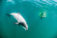 Hector's dolphin (Cephalorhynchus hectori). Endangered species. Endemic to New Zealand. The world's smallest oceanic dolphin. Akaroa Harbour. New Zealand. South Pacific Ocean Model release available