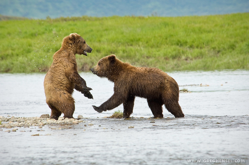 Two Sub-Adult Grizzly Bears play together at Mikfik Creek. Summer at McNeil River Brown Bear Sanctuary in Southwest Alaska.