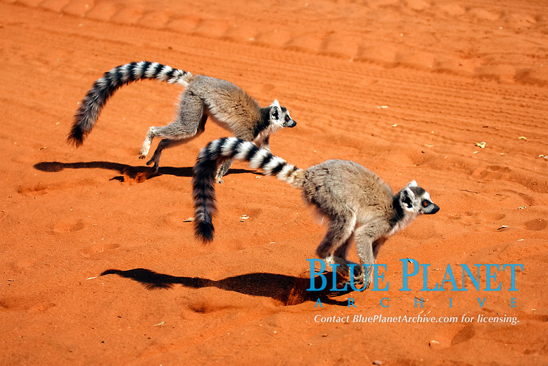 Ring-tailed Lemurs (Lemur catta), adult, running, Berenty Game Reserve, Madagascar, Africa