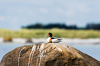 Norway, Håtangen. Common shelduck.