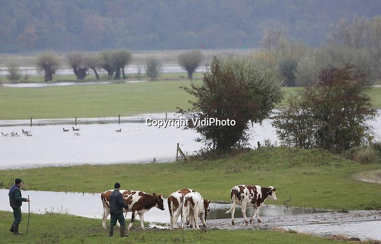 Foto: VidiPhoto<br /> <br /> RANDWIJK - Wegwezen, het water komt er aan. Deze boer drijft donderdag zijn vee uit de uiterwaarden bij Randwijk in de Betuwe naar hoger gelegen gebied. Doordat het water in de grote rivieren stijgt, dreigen de uiterwaarden opnieuw onder te lopen. Veel veehouders halen daarom op dit moment hun vee naar binnen als dat vanwege de kou nog niet is gebeurd. Het stijgende rivierwater is als gevolg van de regenbuien in het stroomgebied van de Rijn.