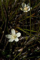 Grass of parnassus blooming at the fen at Singing Sands National Park, Ontario, Canada.