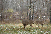 White-tailed deer standing in a Wisconsin field during a November snowstorm.