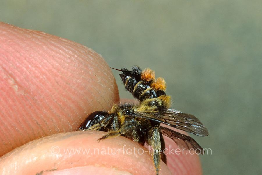 Gemeine Blattschneiderbiene, Buntfarbige Blattschneiderbiene, Blattschneider-Biene, Megachile versicolor, Megachile leaf-cutter bee, leafcutter bee, Blattschneiderbienen, leafcutter bees