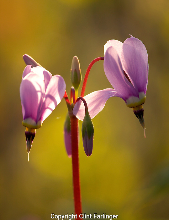 jeweled shooting star (Dodecatheon amethystinum), Clayton County, Iowa