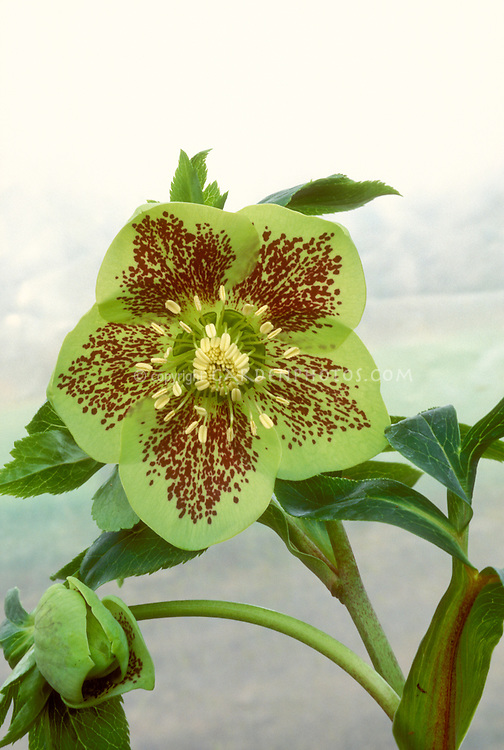 Helleborus x hybridus single green with spots hellebore