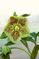 Helleborus x hybridus single green with spots hellebore