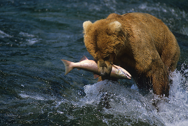 Grizzly Bear with Salmon, Katmai National Park, Alaska
