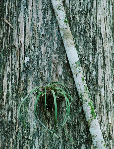 Cypress tree with strangler fig and bromeliad, Corkscrew Swamp Sanctuary, Florida, USA