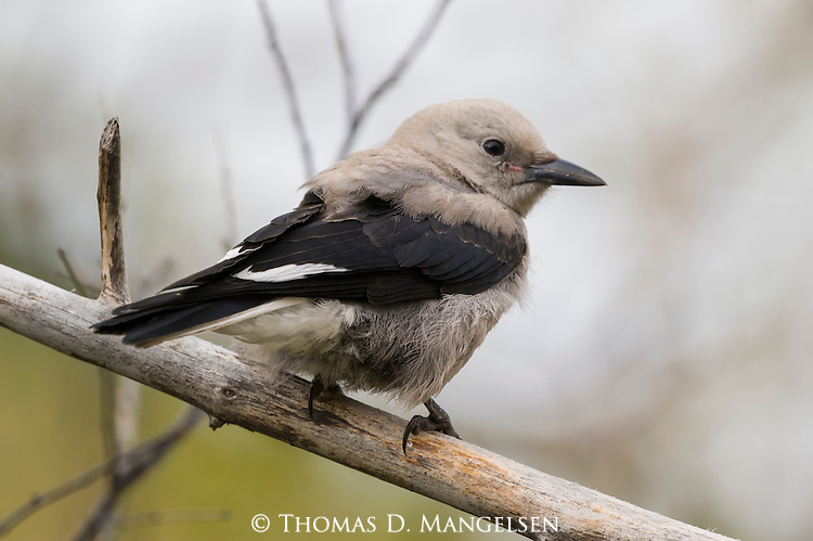 A portrait of a Clark's nutcracker perches on a branch in Jackson, Wyoming.