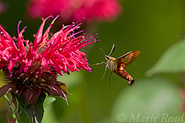 Hummingbird Moth (= Common Clearwing, Clear-winged Sphinx Moth) (Hemaris thysbe) hovering to sip nectar from flowering Bee Balm, New York, USA