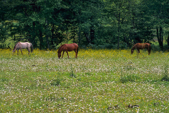 USA, WASHINGTON STATE, NEAR KENDALL, HORSES GRAZING IN MEADOW
