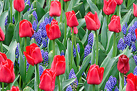 Red tulips and Grape Hyacinth. Roozengaarde gardens. Mt. Vernon. Washington