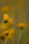 Sunflowers at Sunrise, Missouri