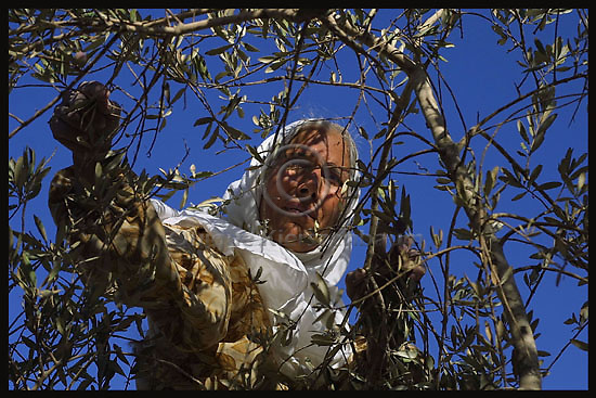 Ramze Sufian  picks olives in the Palestinian village of  Jmmain in the West Bank, November 2,Palestinians of  Jmmain have found many difficulties with Jewish settlers and Israeli army when they tried to harvest their trees. Photo by Quique Kierszenbaum