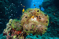 Twobar Anemonefish in Coral Reef, Amphiprion bicinctus, Dahab, Egypt, Red Sea, Indian Ocean