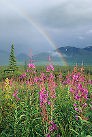 Rainbow over fireweed blossoms in the tundra of broad pass, Alaska Range mountains, Interior, Alaska