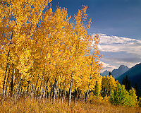 Morning light on aspen grove near Lizard Creek; Grand Teton National Park, WY