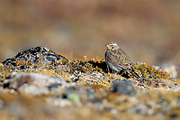 Horned Lark (Eremophila alpestris), foraging on a high plateau in Rocky Mountain National Park, Colorado.